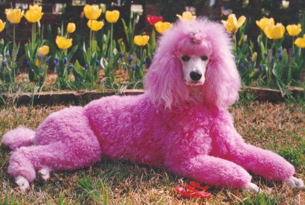 a pink poodle